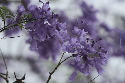 Jacaranda Tree_South African_We are ONE! NO TO RACISM!