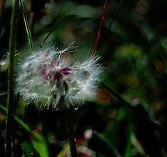 Dandelion Magic