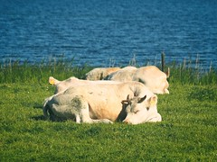 A couple of cattle by the lake | June 1, 2020 | Plön District  - Schleswig-Holstein - Germany