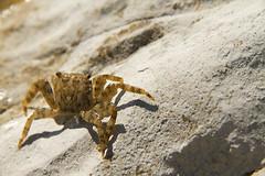 Crab, Scala dei turchi, Agrigento, Sicily, 意大利