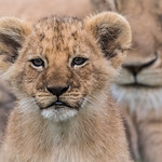 Inquisitive Lion Cub by June Sparham