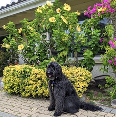 Benni and the Very Big Hibiscus Bush