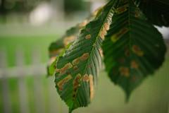 Green infected leaf closeup.