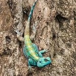 Blue Headed Tree Agama by June Sparham