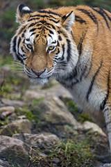 Young Siberian tigress looking at me