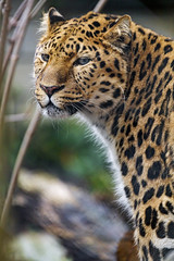 Profile of a standing leopard