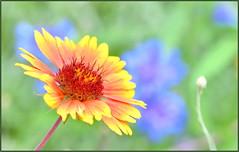 Cornflower Background