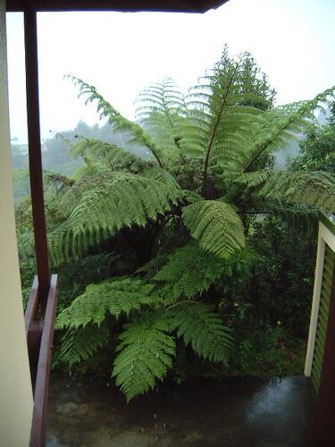 Native treeferns (Cyathea medullaris) next to the garage