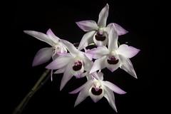 Dendrobium shixingense 'Hengduan' Z.L.Chen, S.J.Zeng & J.Duan, Nordic J. Bot. 28: 723 (2010)
