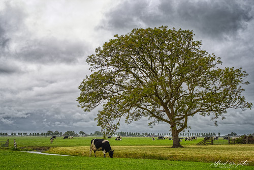Cow And Tree