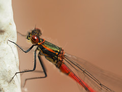 Frühe Adonislibelle, large red damselfly