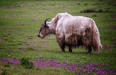 Tibetan Yak, Yunnan