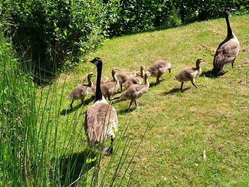 A proud couple of geese with their goslings
