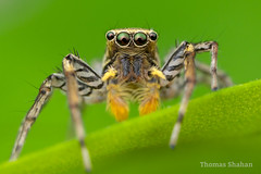"Maevia inclemens - ""Light Morph"" male jumping spider - Oklahoma"