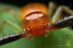 Black-banded Crab Spider - Synema parvulum  - Oklahoma