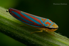 Red-banded Leafhopper - Graphocephala coccinea - Oklahoma