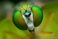 Condylostylus sp portrait - Oklahoma