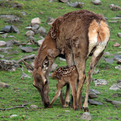 Red deer with fawn