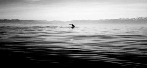 Sperm Whale - Kaikora - New Zealand