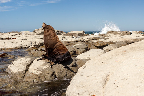 Fur Seals Kaikoura