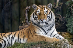 Young Siberian tigress posing well