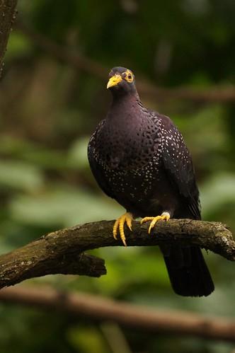 Pigeon rameron (Columba arquatrix)