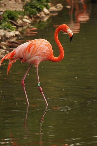 Flamant des Caraïbes (Phoenicopterus ruber ruber)
