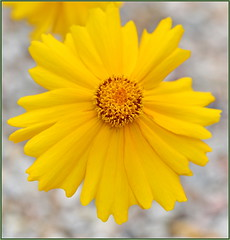 Wind-whipped Coreopsis Flower