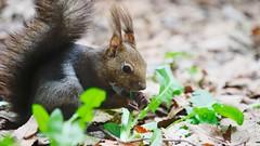 Hokkaido squirrel (Sciurus vulgaris orientis).