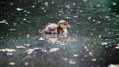 Baby duck.