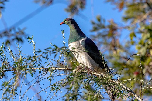 N. Z. native Pigeon  9696