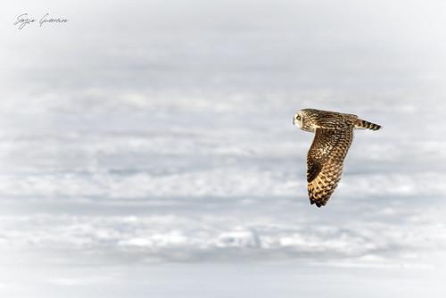 Coruja-do-nabal / Short-eared owl / (Asio flammeus)