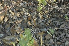 Pyronia cecilia 20-05-24 01