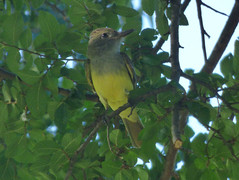 Great Crested Flycatcher, A.R. Schell Park, Plano, Texas, June 6, 2020
