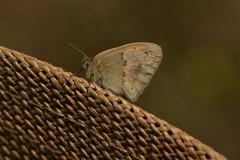 Coenonympha pamphilus 20-05-24 01