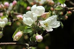 Flowering flowers of apple tree