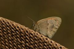 Coenonympha pamphilus 20-05-24 02