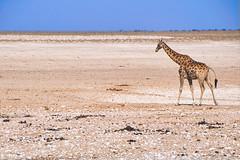 Lonely Giraffe