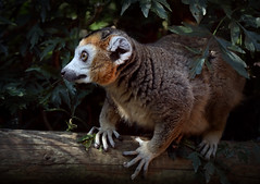 Crowned Lemur at Bristol Zoo