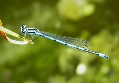 Azure Bluet male