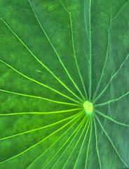 Leaf of the Lotus