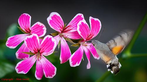 Moth - Hummingbird Hawk-moth
