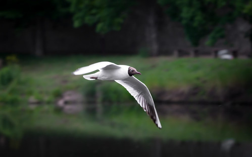 Black-headed gull (Lachmöwe)