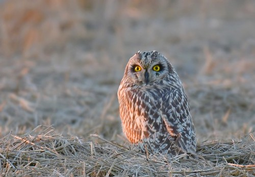 Coruja-do-Nabal / Short-eared Owl