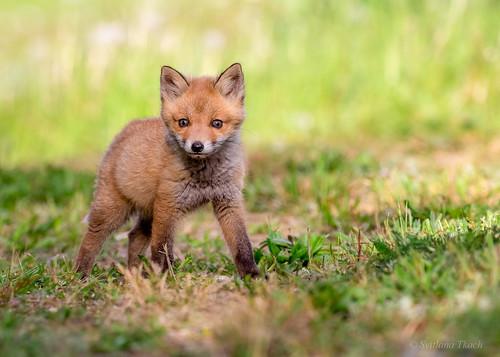 Red fox (Vulpes vulpes)_Explored 08 June 2020