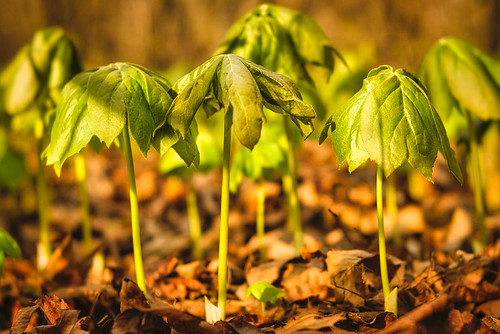 Down On The Forest Floor:  Mayapples