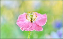 Poppy Fly