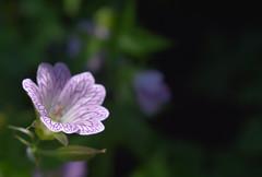 Flower - Geranium