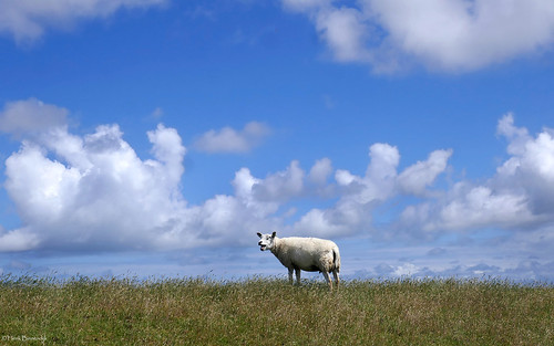 Terschelling: lone baa baa sheep on the dike