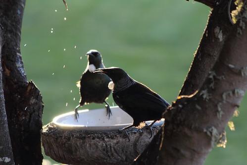 Tui feeding